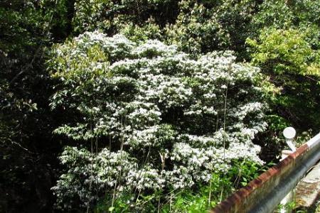 石楠花 159