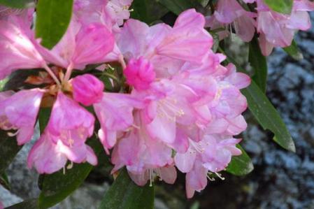 石楠花 062