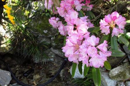 石楠花 064