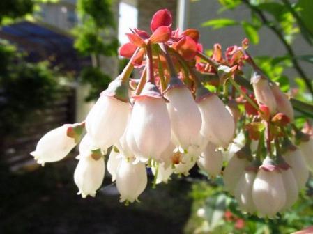 石楠花 175