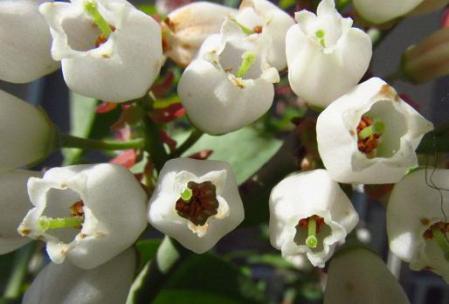石楠花 184