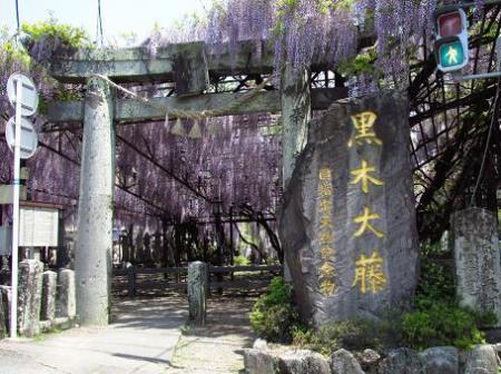 中山黒木藤ハイノキ 114