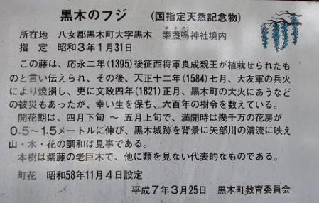 中山黒木藤ハイノキ 115