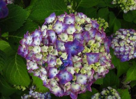 足湯と紫陽花 037