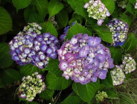 足湯と紫陽花 036