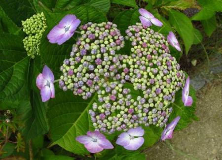 足湯と紫陽花 044