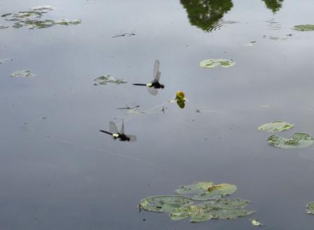 麻生池トンボ 055
