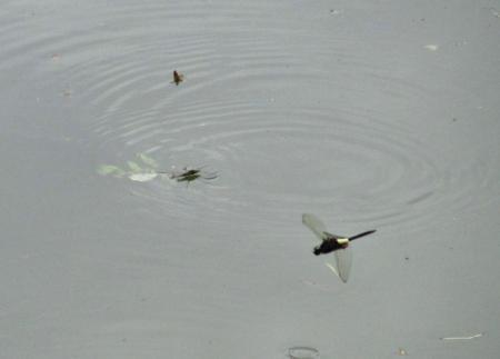麻生池トンボ 069
