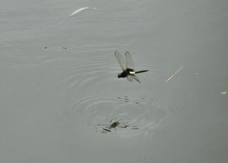 麻生池トンボ 070