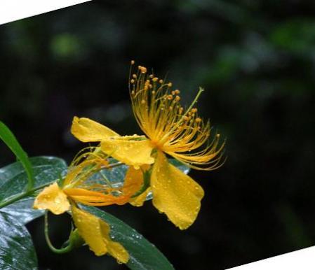 清水の紫陽花 087