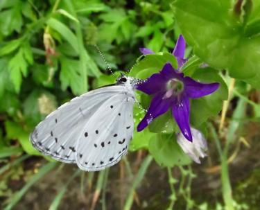 清水の紫陽花 205