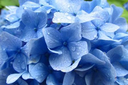 清水の紫陽花 015