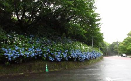 清水の紫陽花 175