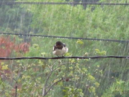 雨と鳥 006