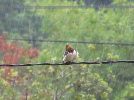 雨と鳥 003