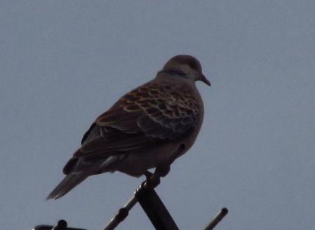 朝の鳩 006