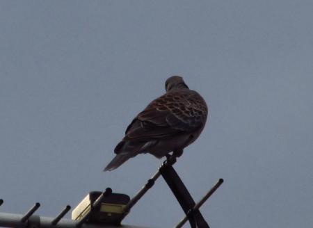 朝の鳩 005