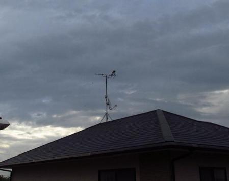 朝の鳩 001