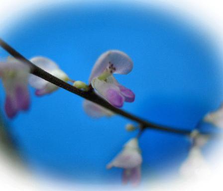 天山の花 006