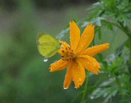 公園の蝶 085