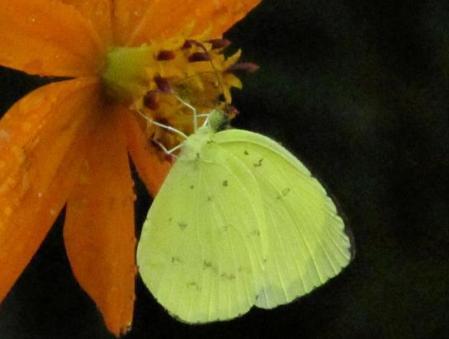 公園の蝶 096