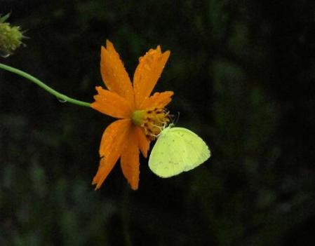 公園の蝶 099