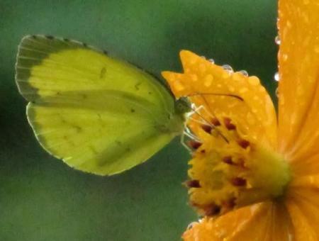 公園の蝶 091