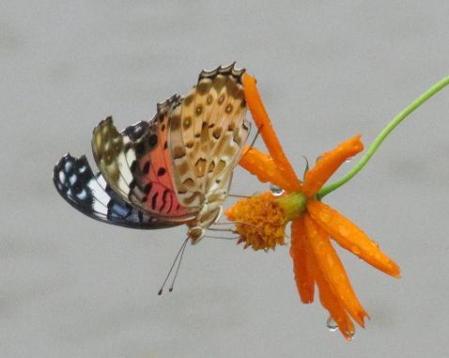 公園の蝶 043