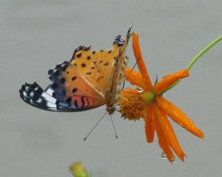 公園の蝶 041