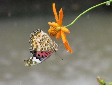 公園の蝶 060