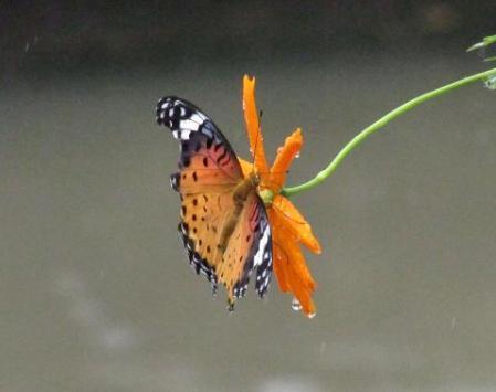 公園の蝶 061