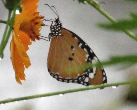 公園の蝶 080