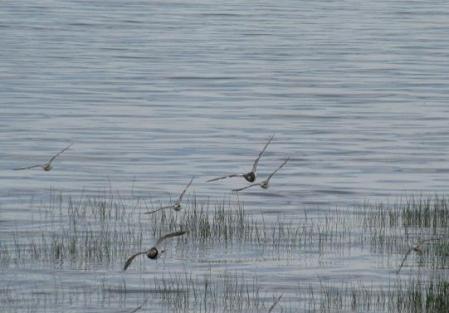 ツバメと千鳥 153