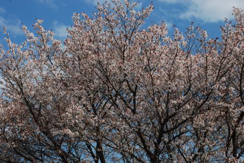 6号線添えの桜