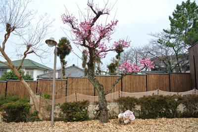 3.15 空姫と桃の花