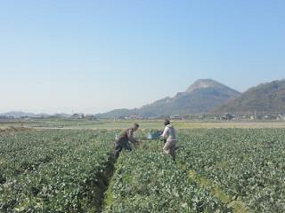 とっても広いブロッコリー畑