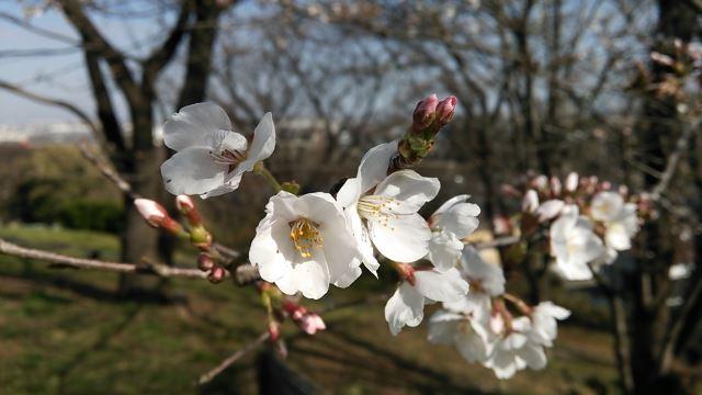 春、桜、寒い