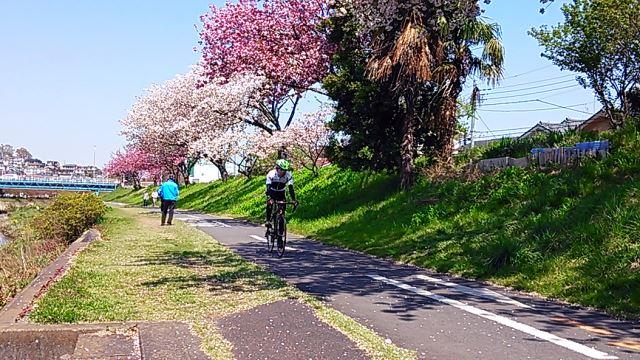 浅川CRの桜