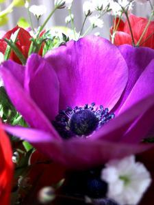 アネモネ紫
