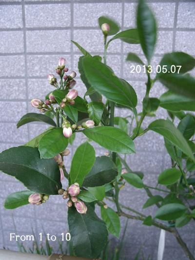 マイヤーレモン つぼみのアップ(0507)