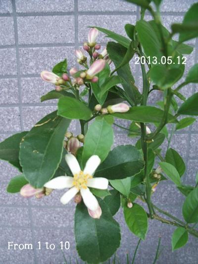 マイヤーレモン花(0512)