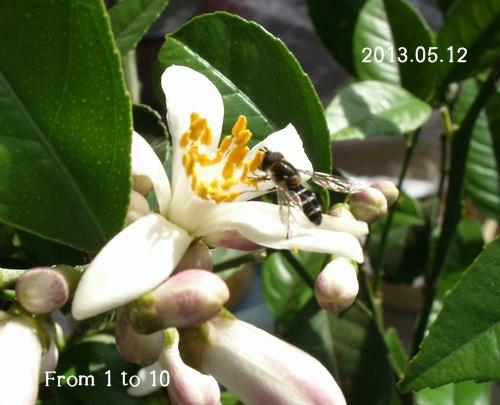 マイヤーレモン 花と虫(0512)