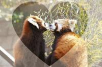 lesser-panda001