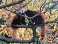 lesser-panda002
