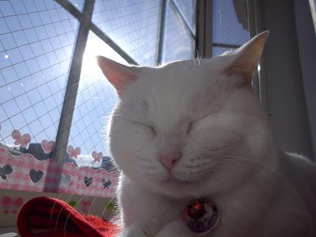 出窓で寝るふきちゃん10
