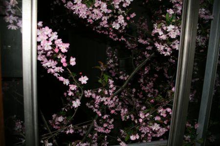 かいどう桜