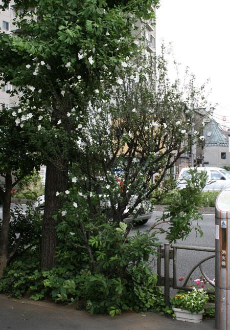 むくげの白い花