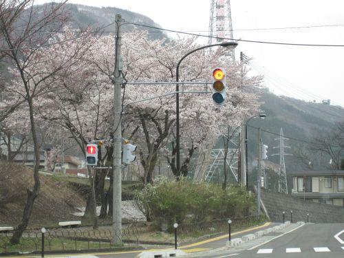湯沢町の桜