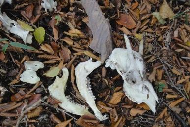 カモシカの骨1