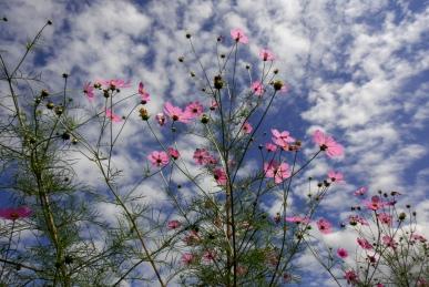 うろこ雲と秋桜